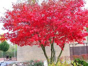 Acer Crimson king 2ª [640x480]